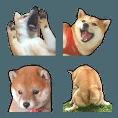 Ugly Shiba Inu Wazai