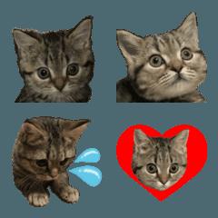ミヌエットのショコラの子猫写真絵文字