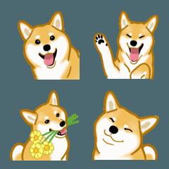 柴犬(犬)