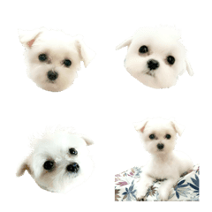 CUTECUTE DOG Maltese