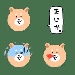 丸い顔の柴犬