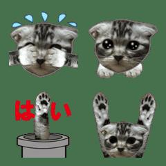 土管から子猫のスコティッシュ。ニャー
